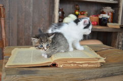 Svart kattunge med vita band Arkivfoto