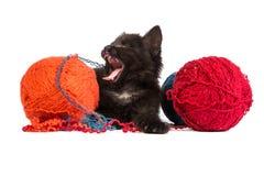 Svart kattunge som leker med ett rött garnnystan på vitbakgrund Arkivbild