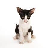 svart kattungewhite Arkivbild
