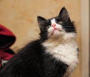 svart kattungewhite Royaltyfri Bild