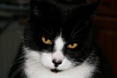 svart kattwhite Arkivfoto