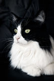 svart kattwhite Royaltyfri Bild