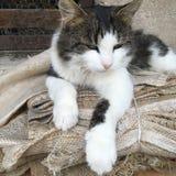 svart kattwhite Royaltyfria Foton