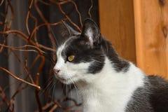 svart kattwhite Stående av en katt Royaltyfria Foton