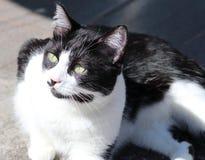 svart kattwhite royaltyfria bilder