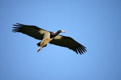 svart kenya för amboseli stork Fotografering för Bildbyråer