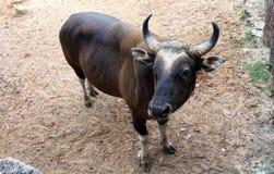 Svart ko för djur matning, Fotografering för Bildbyråer