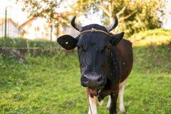 Svart ko som betar i trädgården, flugor som flyger runt om hans huvud Fotografering för Bildbyråer