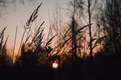 Svart kontur av gräs mot den morotsfärgade himlen för solnedgång Höstsolnedgång på en gräsbakgrund royaltyfri foto