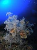 svart korall Arkivfoton
