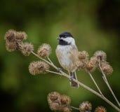 Svart-korkad Chickadee Arkivfoton