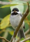 Svart korkad Chickadee - Parusatricapillus royaltyfri foto