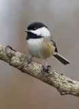 Svart korkad Chickadee - Parusatricapillus royaltyfri fotografi