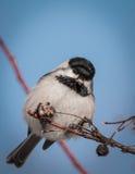 Svart-korkad chickadee - Poecile atricapillus Royaltyfri Foto