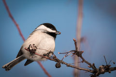 Svart-korkad chickadee - Poecile atricapillus Royaltyfri Fotografi