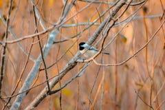 Svart korkad Chickadee som sätta sig i ett träd arkivbilder
