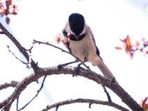 Svart korkad Chickadeefågel som sätta sig på en filial med vårblommor arkivfoton