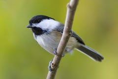 Svart-korkad chickadeefågel som sätta sig på ett träd Arkivfoto
