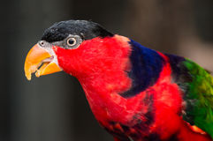 Svart-korkad Lorikeet fågel Royaltyfri Foto