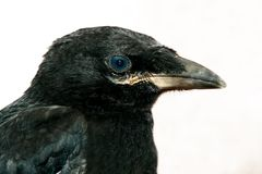 svart korpsvart Royaltyfri Bild