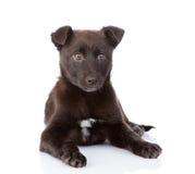 Svart korsninghund som framme ligger bakgrund isolerad white Royaltyfri Bild