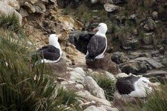 Svart-krön albatross på reden royaltyfri foto