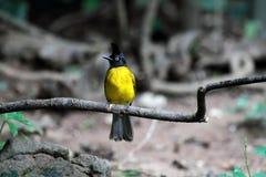 Svart-krönad Bulbulfågel Royaltyfri Fotografi