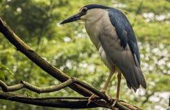 Svart-krönad Heron Arkivbild