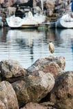 Svart-krönad Heron Royaltyfri Bild