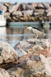 Svart-krönad Heron Arkivfoto