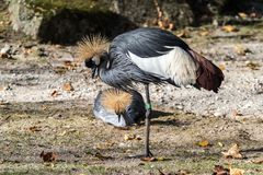 Svart krönad kran, Balearica pavonina i zoo royaltyfri fotografi
