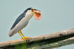 Svart-krönad Natt-häger fågel Royaltyfri Fotografi