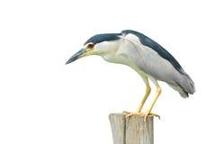 Svart-krönad Natt-häger fågel Arkivbilder