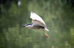 Svart-krönad Natt-Heron Arkivfoton