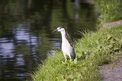 Svart-krönad Natt-Heron Fotografering för Bildbyråer