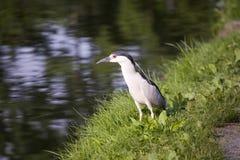 Svart-krönad Natt-Heron Royaltyfri Bild