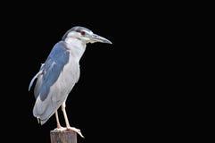 Svart-krönad Natt-Heron Royaltyfri Foto