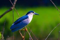 Svart-krönad natthäger enkel fågel på filial Arkivbild