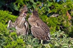 Svart-krönade fågelungar för natthäger Royaltyfria Bilder