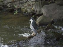 Svart-krönat hägerfiske på floden Arkivfoto