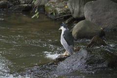 Svart-krönat hägerfiske på floden Royaltyfri Bild
