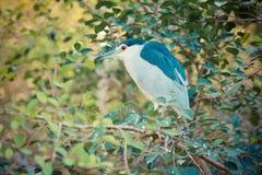 Svart-krönad Natt-Heron Royaltyfria Foton