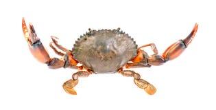 Svart krabba som isoleras in på vit bakgrund Fotografering för Bildbyråer