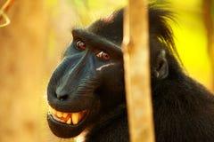 Svart krönad macaque Royaltyfria Bilder
