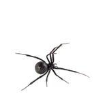 svart kvinnligspindelänka Arkivfoto