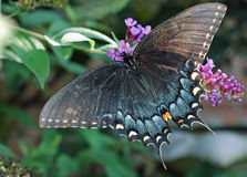 Svart kvinnligSwallowtail fjäril arkivfoto