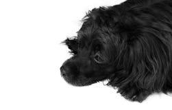 Svart lång haired hund som lägger på det vita golvet fotografering för bildbyråer