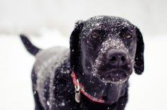 Svart labb i en snöstorm Fotografering för Bildbyråer