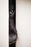 Svart labb som skjuter hans näsa till och med ett staket Arkivfoto