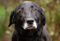 Svart labrador för pensionär med Gray Muzzle arkivbilder